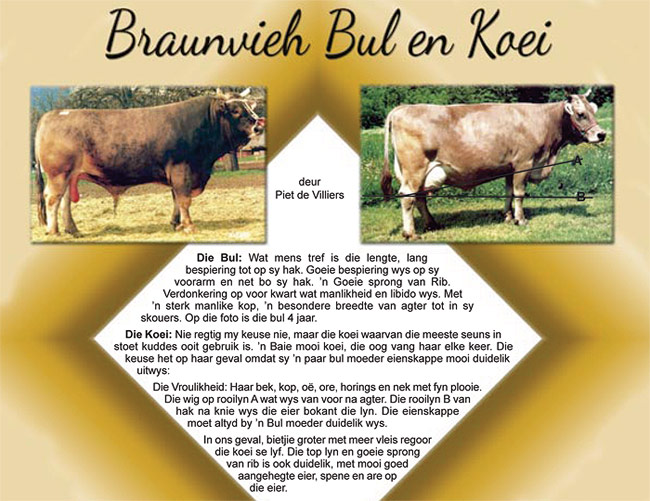 Braunvieh Bull and Cow