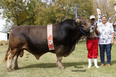L 5353 - Senior Champion Bull, Sam owner Alphine stud of Donsie (0825621222) and Philip Wessels (0832642199)