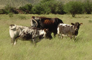 - Nguni cow with Braunvieh calves